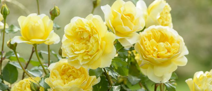 Featured image for 'Scentsational David Austin Roses – Available Now'