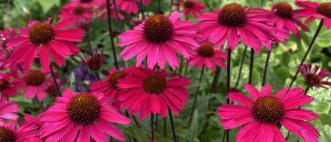 Featured image for 'Easy-Going Echinacea'