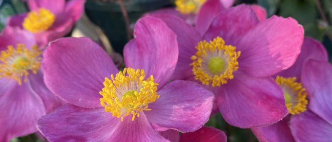 Featured image for 'Elegant Anemone'