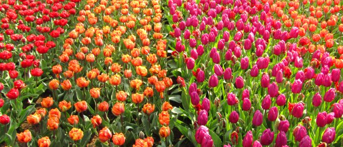 Featured image for 'Trendy Tulips'